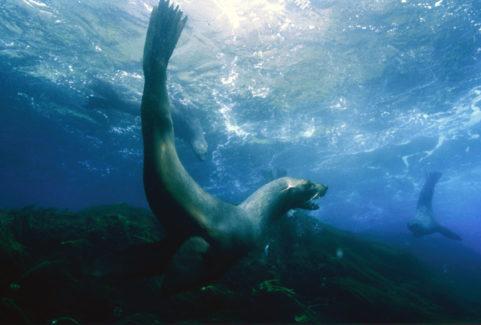 FUR SEALS, THE DARK SIDE